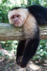 King Capuchin